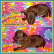 Buttercup's Brindle Chipit / Pithuahua Male Pup #1