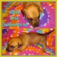 Buttercup's Tan and Black Chipit / Pithuahua Male Pup #2