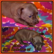Buttercup's Blue Chipit / Pithuahua Male Pup #3