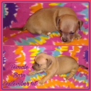 Buttercup's Small Tan Chipit / Pithuahua Female Pup #4