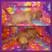 Buttercup's Mostly Tan Chipit / Pithuahua Female Pup #6