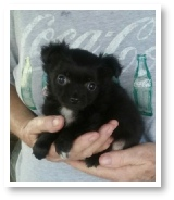 Sage's Black Long Hair Female Chihuahua Puppy