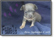 Coco's Blue Female Chihuahua Puppy