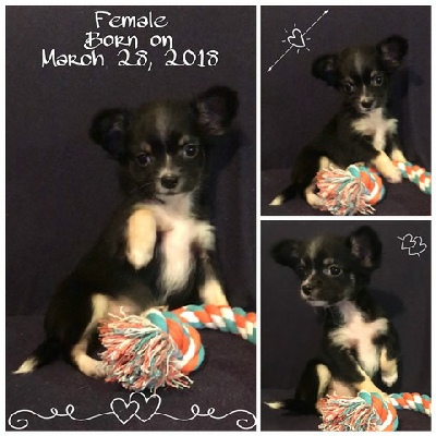 Chihuahuas of Texas - Puppies for Sale