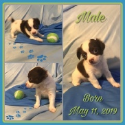 White and Chcolate Long Hair Male Chihuahua Puppy