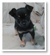 Lucy's Tri-Color Female Chihuahua Puppy in Houston, Texas