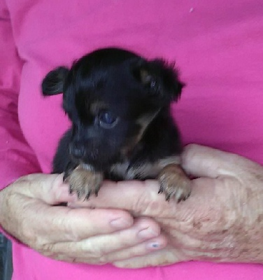 Nina S Black Long Hair Male Chihuahua Puppy Sold