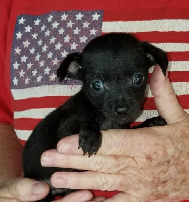 Chihuahuas Of Texas Puppies For Sale