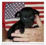 Nina's Black Male Chihuahua Puppy
