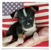Nina's Tri-color Piebald Female Chihuahua Puppy