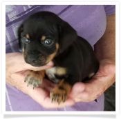 Sage's Black and Tan Chi-weenie Male Chihuahua Puppy